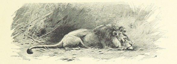 slumbering-lion